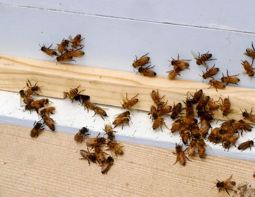 Bees gather at the hive opening.