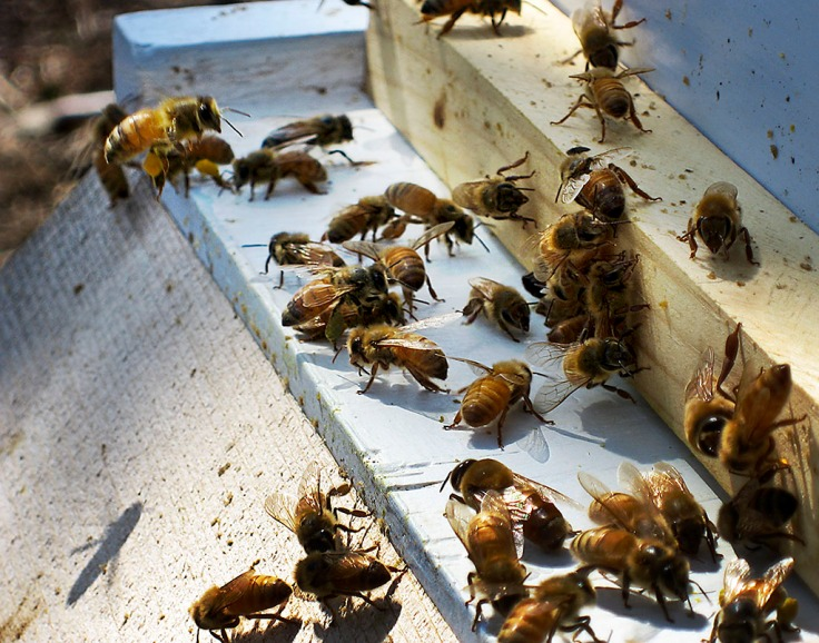 Bringing pollen back to the hive.