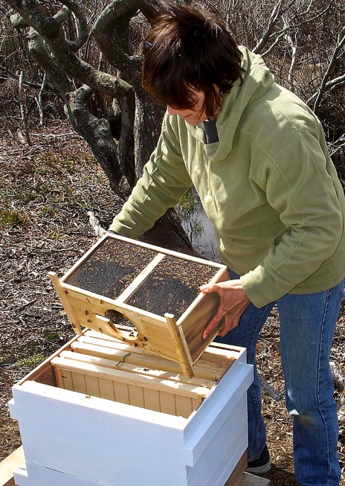 Pouring the bees into the hive.