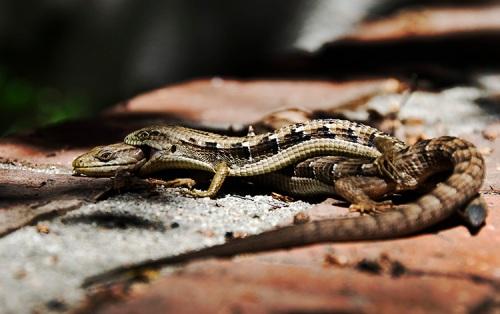 Lizard love!