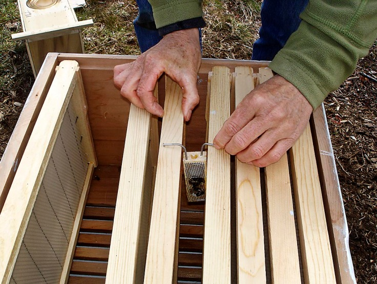 Positioning the queen's cage in the hive box.