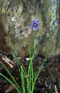 Sisyrinchium bellum Blue-eyed Grass. This poor blossom is a little beat up, but you get the idea.