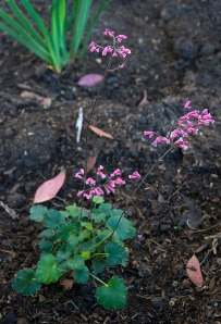 "Heuchera Coral Bells ""Canyon Chimes"""