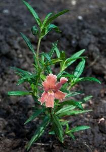 Mimulus aurantiacus Monkeyflower