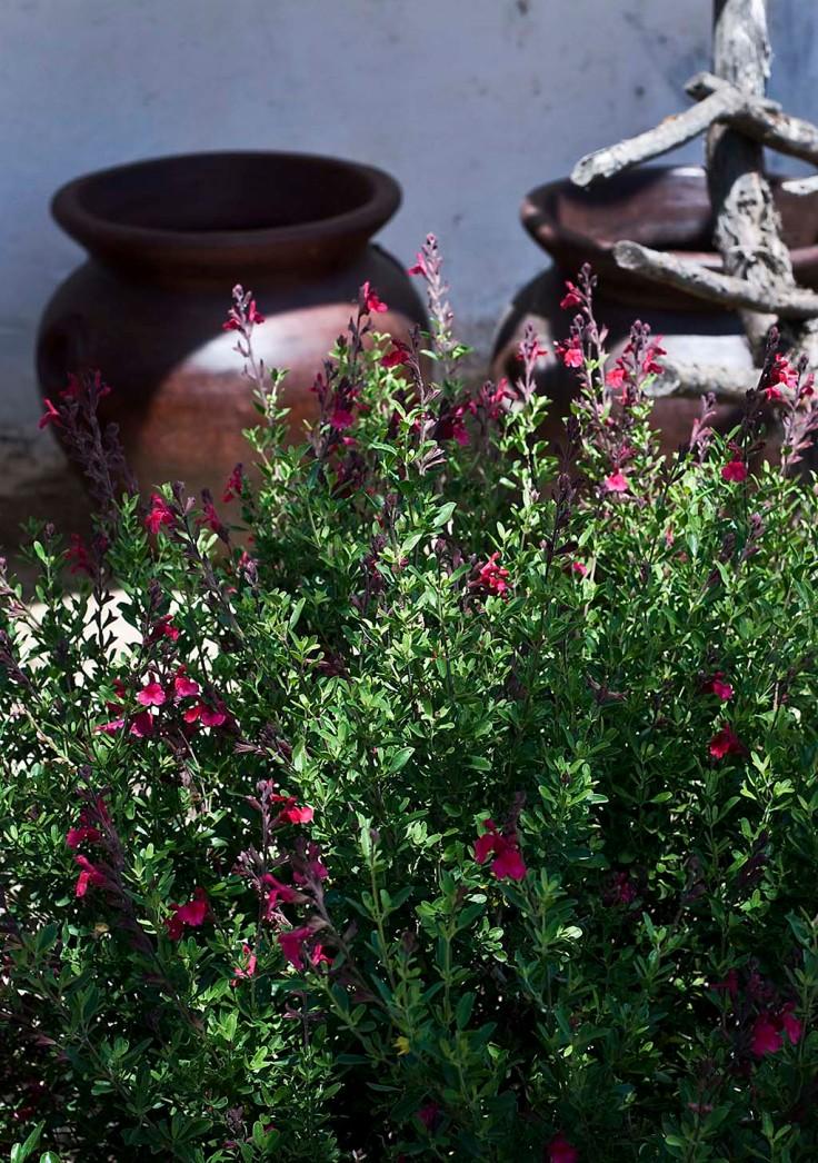 Salvia greggii Autumn Sage