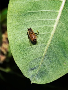 Poor little bee with her foot stuck to the milkweed leaf.