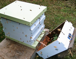 Bees from the third swarm moving into Green Hive.