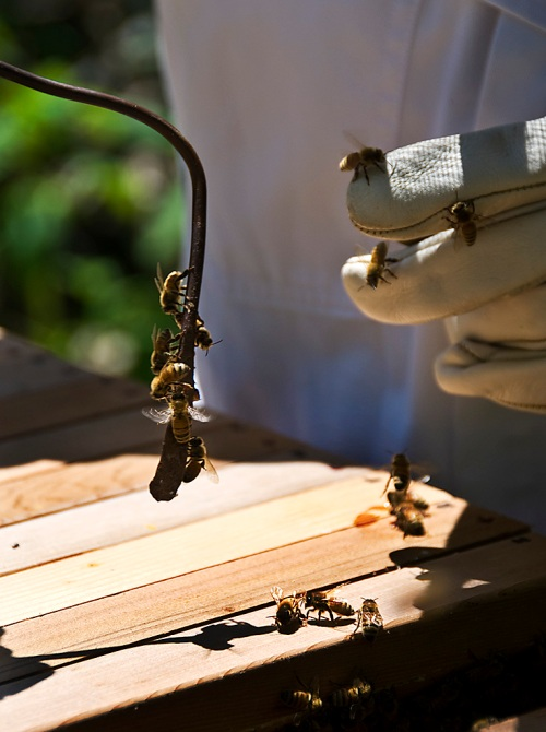 The bees were determined to recover every last bit of honey that got smeared onto my tool and glove.