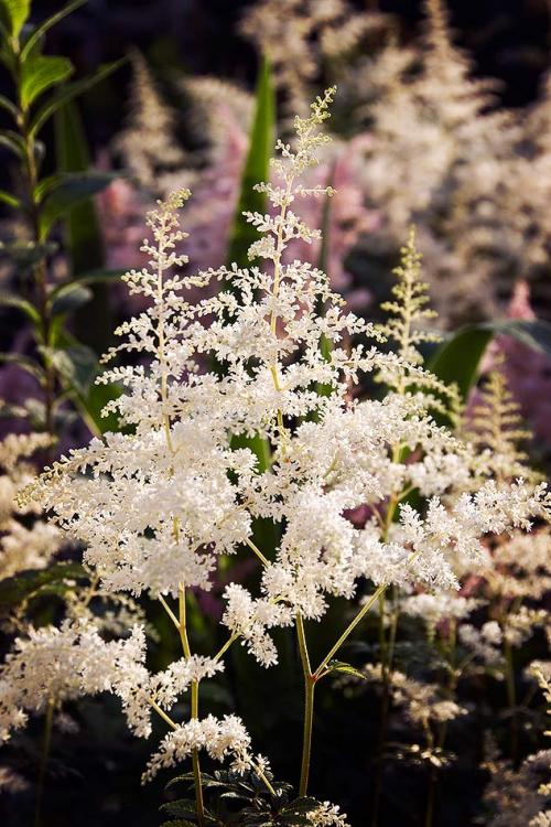 Behind the house the bed was filled with a feathery cloud of white and pink astilbe.
