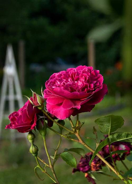 Burgundy-colores roses decorate the vegetable garden.