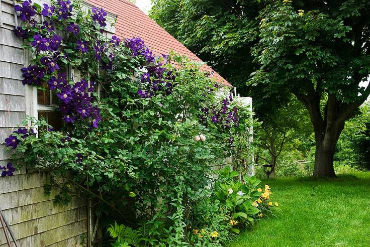 The garden shed in back of the house is covered on this side with clematis and the other with wisteria.