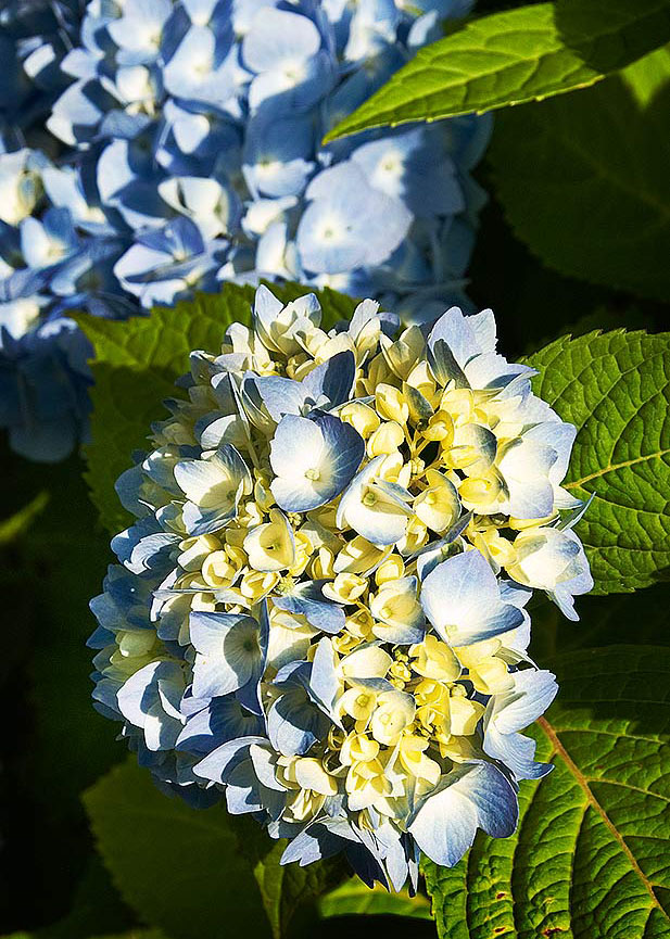 Hydrangea — an old-fashioned beauty that I never get tired of.