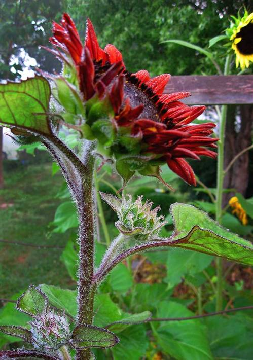 Dew like little jewels sit on the fuzzy stem of this gorgeous red sunflower.