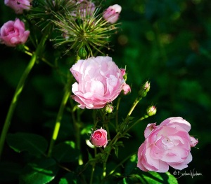 Roses in early July