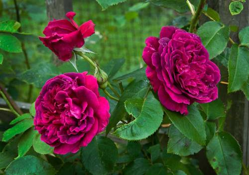 Oh! I just can't get enough of the color of these roses.