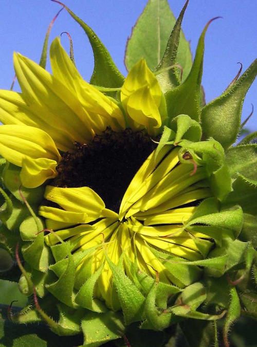 Sunflower unfurling her petals to greet the day.