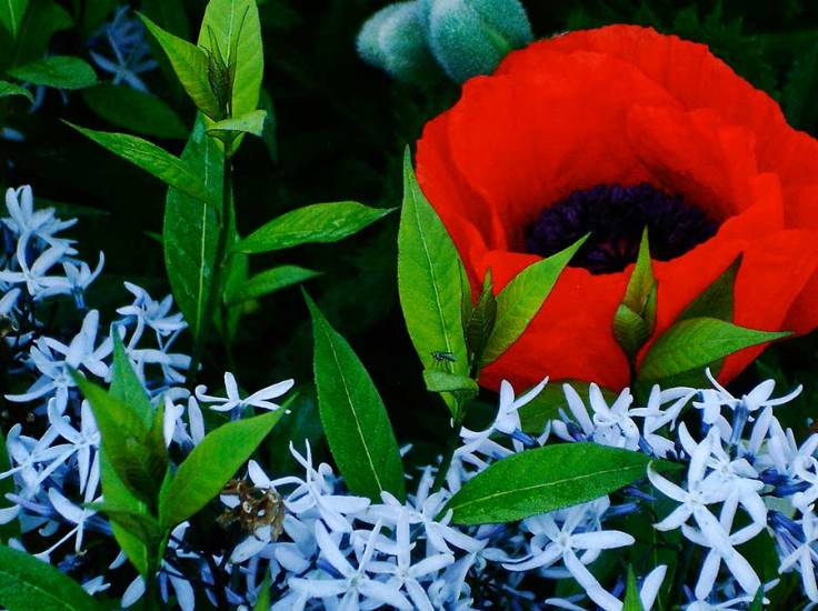 Red poppy and Blue Star Amsonia