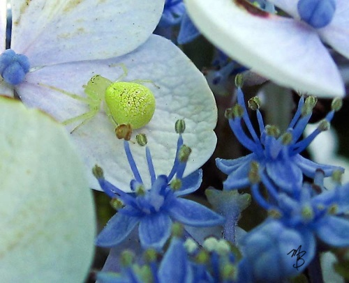 What a beautiful shot! This little crab spider found the perfect setting to show off her chartreuse self.