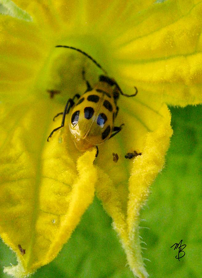 And then there's this funny-looking guy. The potato beetle is a pollinator, but it can cause a lot of damage in your garden.