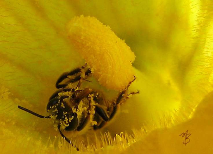This honeybee looks like she's high on pollen — definitely not PG!