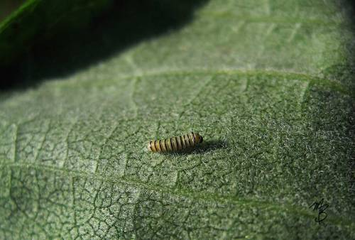 Tiny monarch larva