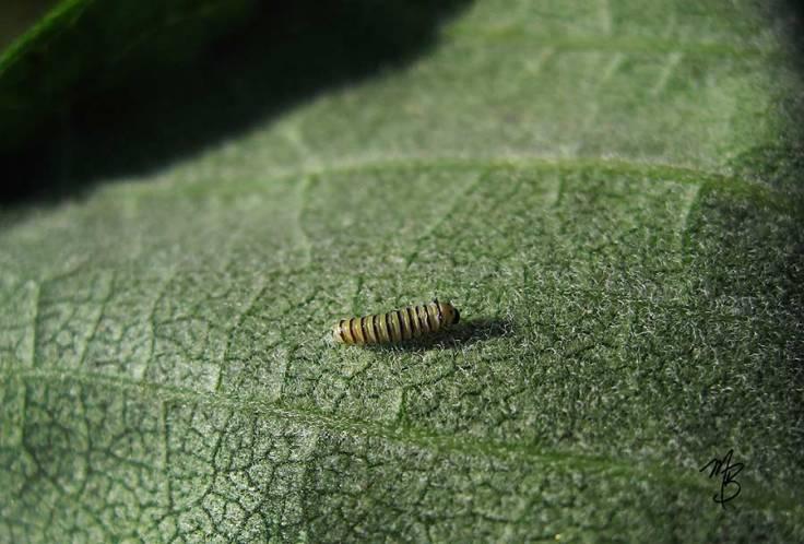 Tiny monarch larva