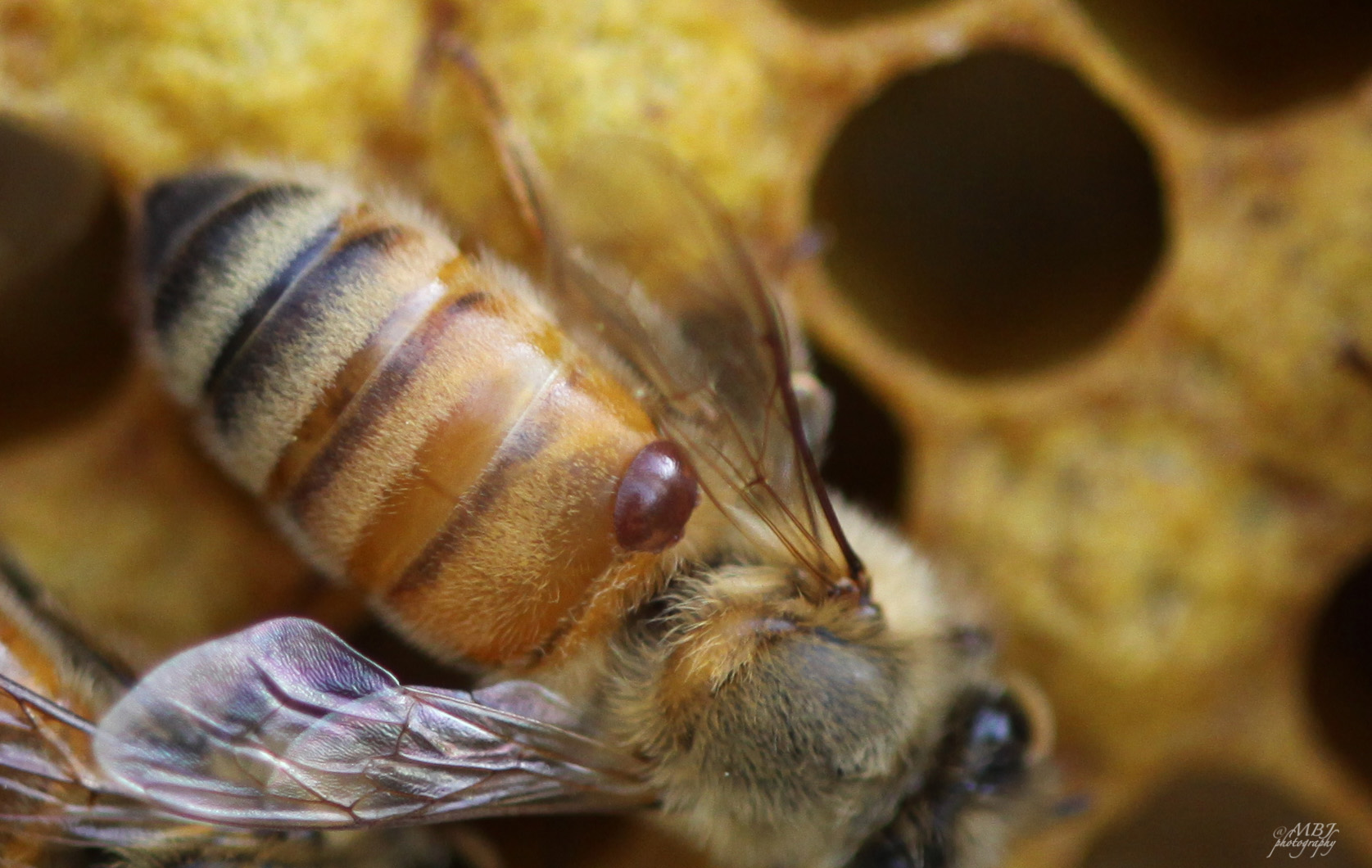 Varroa Mite | Bees and Chicks