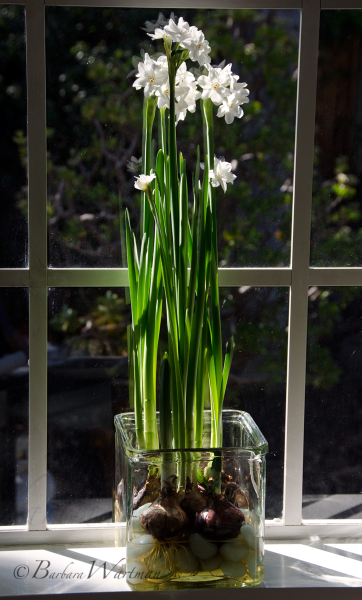 Tuesdays tips forcing paperwhites pt 2 bees and chicks tuesdays tips forcing paperwhites pt 2 mightylinksfo