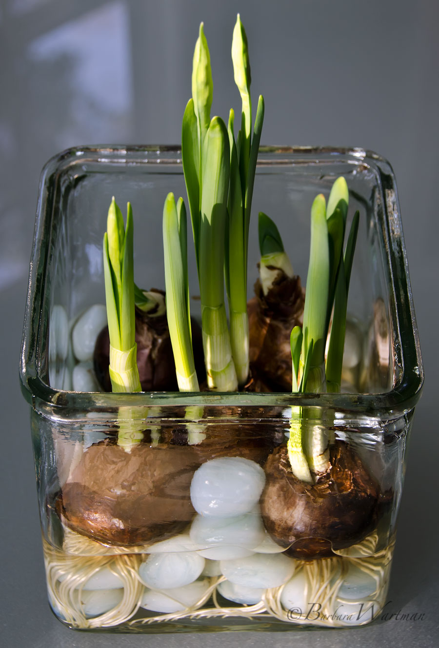 Tuesdays Tips Forcing Paperwhites Bees And Chicks