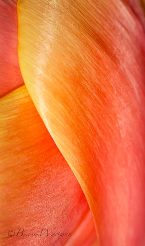 Macro photo of Orange Tulip Petals